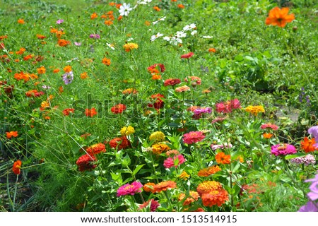 Zinnia, a genus of annual and perennial grasses and dwarf shrubs of the Asteraceae family. Multicolored