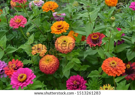 Zinnia, a genus of annual and perennial grasses and dwarf shrubs of the Asteraceae family. Flower Zinnia. Gardening. Home. Red flowers