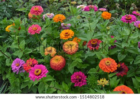 Zinnia, a genus of annual and perennial grasses and dwarf shrubs of the Asteraceae family. Flower Zinnia. Gardening. Red flowers