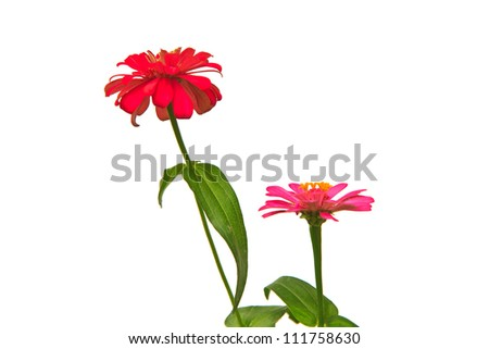 Zinnia elegans,Blooming Zinnias isolated on white background