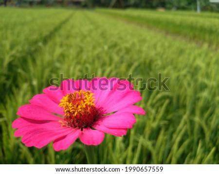 Zinnia Elegans flower that grows in the rice fields Stock fotó ©