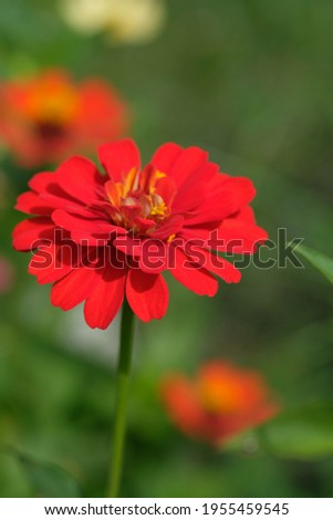 zinnia elegans flowers are red. This flower is widely spread in the tropics. grows wild as a shrub also used as an ornamental plant. Stock fotó ©