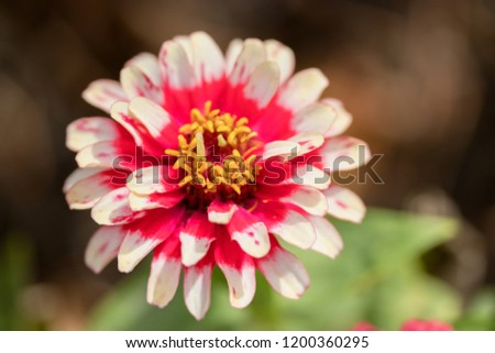Zinnia elegans, known as youth-and-age,common zinnia or elegant zinnia, an annual flowering plant of the genus Zinnia, is one of the best known zinnias