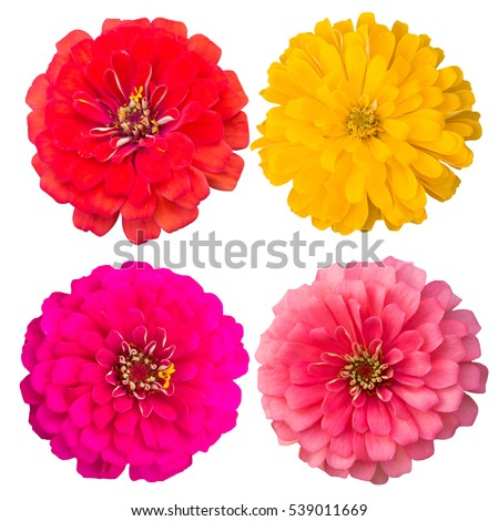 Zinnia flower Collection,set of zinnia,pink ,red-orange,soft pink,yellow, isolated on white background.