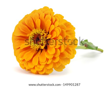 Zinnia flower on a white background