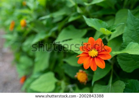 Zinnia flower or Youth and Old Age (Zinnia elegans) Beautiful flowers are blooming with bright red with green leaves. Stock fotó ©