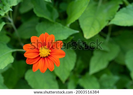 Zinnia flower or Youth and Old Age (Zinnia elegans) Beautiful flowers are blooming with bright red with green leaves. Free copy space. Soft focus. Stock fotó ©
