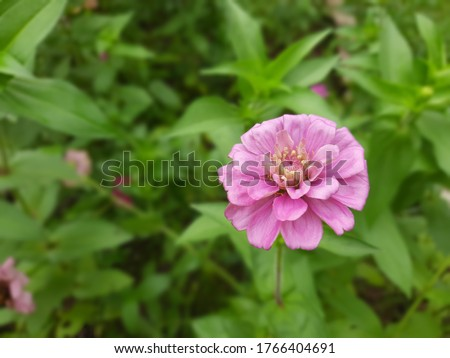 Zinnia is a genus of plants of the sunflower tribes within the daisy family. They are native to scrub and dry grassland in an area stretching from the southwestern U.S to SA, with a center of diversit Foto d'archivio ©