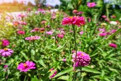 Zinnia is an herbaceous plant with flowers in many colors such as red, pink, white, orange, purple, images biology