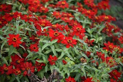 Zinnia Profusion red blooms in the garden in summer