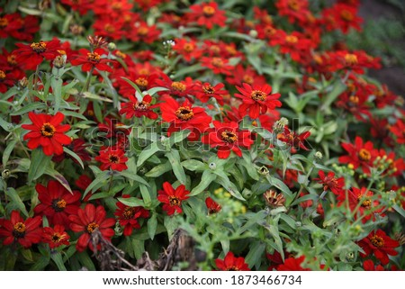 Zinnia Profusion red blooms in the garden in summer Сток-фото ©