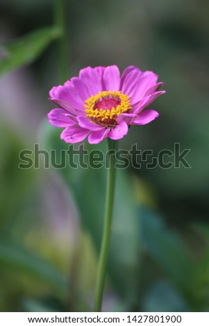 Zinnia zinnias garden blooms flowers bloom #1427801900