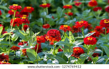 Zinnias are annual plants, shrubs and sub-shrubs growing mainly in North America, Zinnias can be white, greenish yellow, yellow, orange, red, purple or lilac. #1274769412