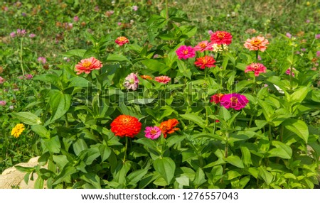 Zinnias are annual plants, shrubs and sub-shrubs growing mainly in North America, Zinnias can be white, greenish yellow, yellow, orange, red, purple or lilac. #1276557043