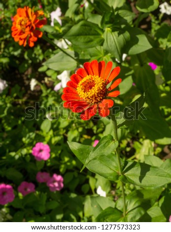 Zinnias are annual plants, shrubs and sub-shrubs growing mainly in North America, Zinnias can be white, greenish yellow, yellow, orange, red, purple or lilac. #1277573323