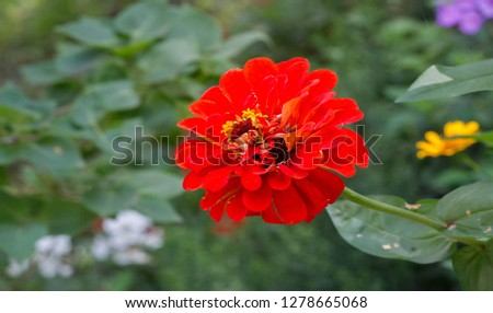 Zinnias are annual plants, shrubs and sub-shrubs growing mainly in North America, Zinnias can be white, greenish yellow, yellow, orange, red, purple or lilac. #1278665068