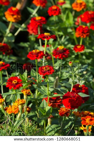 Zinnias are annual plants, shrubs and sub-shrubs growing mainly in North America, Zinnias can be white, greenish yellow, yellow, orange, red, purple or lilac. #1280668051