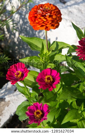 Zinnias are annual plants, shrubs and sub-shrubs growing mainly in North America, Zinnias can be white, greenish yellow, yellow, orange, red, purple or lilac. #1281627034