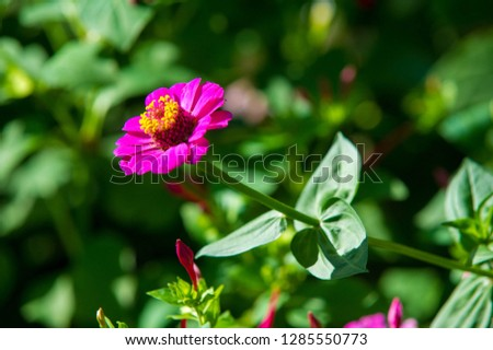 Zinnias are annual plants, shrubs and sub-shrubs growing mainly in North America, Zinnias can be white, greenish yellow, yellow, orange, red, purple or lilac. #1285550773