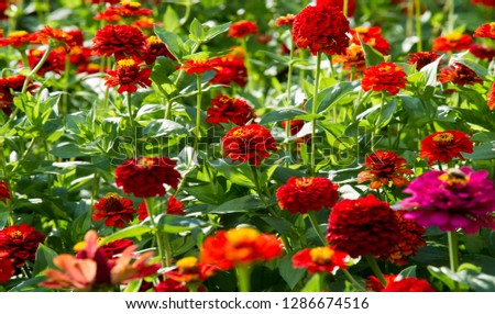 Zinnias are annual plants, shrubs and sub-shrubs growing mainly in North America, Zinnias can be white, greenish yellow, yellow, orange, red, purple or lilac. #1286674516