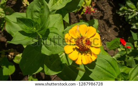 Zinnias are annual plants, shrubs and sub-shrubs growing mainly in North America, Zinnias can be white, greenish yellow, yellow, orange, red, purple or lilac. #1287986728