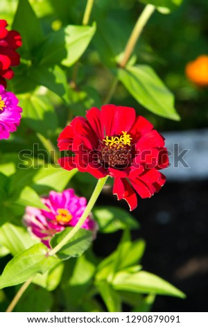 Zinnias are annual plants, shrubs and sub-shrubs growing mainly in North America, Zinnias can be white, greenish yellow, yellow, orange, red, purple or lilac. #1290879091