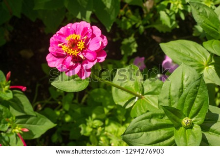 Zinnias are annual plants, shrubs and sub-shrubs growing mainly in North America, Zinnias can be white, greenish yellow, yellow, orange, red, purple or lilac. #1294276903