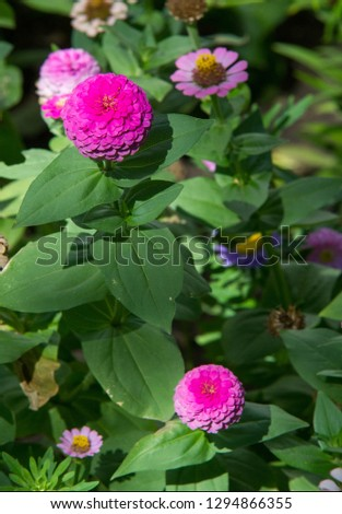 Zinnias are annual plants, shrubs and sub-shrubs growing mainly in North America, Zinnias can be white, greenish yellow, yellow, orange, red, purple or lilac. #1294866355