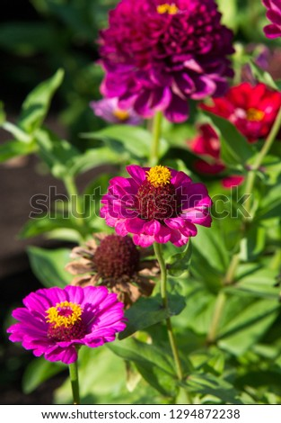 Zinnias are annual plants, shrubs and sub-shrubs growing mainly in North America, Zinnias can be white, greenish yellow, yellow, orange, red, purple or lilac. #1294872238
