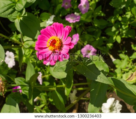 Zinnias are annual plants, shrubs and sub-shrubs growing mainly in North America, Zinnias can be white, greenish yellow, yellow, orange, red, purple or lilac. #1300236403