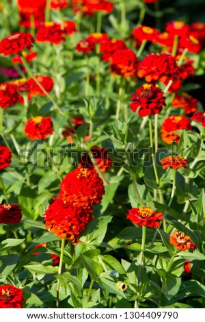 Zinnias are annual plants, shrubs and sub-shrubs growing mainly in North America, Zinnias can be white, greenish yellow, yellow, orange, red, purple or lilac. #1304409790