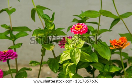 Zinnias are annual plants, shrubs and sub-shrubs growing mainly in North America, Zinnias can be white, greenish yellow, yellow, orange, red, purple or lilac. #1317857636
