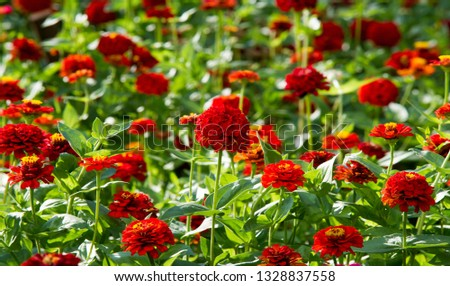 Zinnias are annual plants, shrubs and sub-shrubs growing mainly in North America, Zinnias can be white, greenish yellow, yellow, orange, red, purple or lilac. #1328837558
