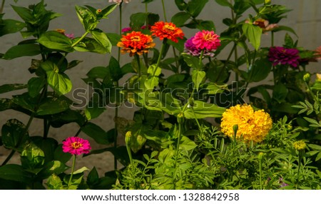 Zinnias are annual plants, shrubs and sub-shrubs growing mainly in North America, Zinnias can be white, greenish yellow, yellow, orange, red, purple or lilac. #1328842958