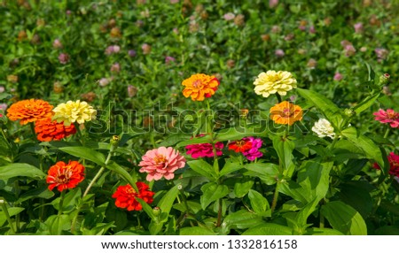 Zinnias are annual plants, shrubs and sub-shrubs growing mainly in North America, Zinnias can be white, greenish yellow, yellow, orange, red, purple or lilac. #1332816158