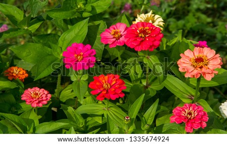 Zinnias are annual plants, shrubs and sub-shrubs growing mainly in North America, Zinnias can be white, greenish yellow, yellow, orange, red, purple or lilac. #1335674924