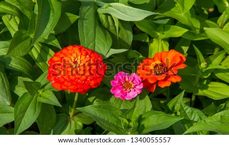 Zinnias are annual plants, shrubs and sub-shrubs growing mainly in North America, Zinnias can be white, greenish yellow, yellow, orange, red, purple or lilac. #1340055557