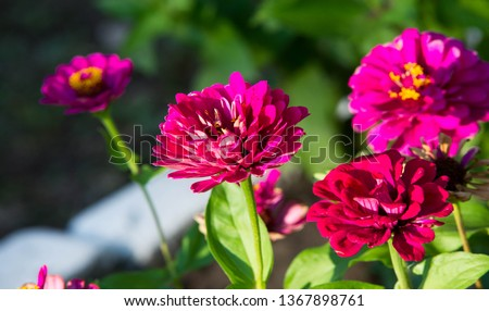 Zinnias are annual plants, shrubs and sub-shrubs growing mainly in North America, Zinnias can be white, greenish yellow, yellow, orange, red, purple or lilac. #1367898761