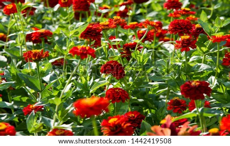 Zinnias are annual plants, shrubs and sub-shrubs growing mainly in North America, Zinnias can be white, greenish yellow, yellow, orange, red, purple or lilac. #1442419508