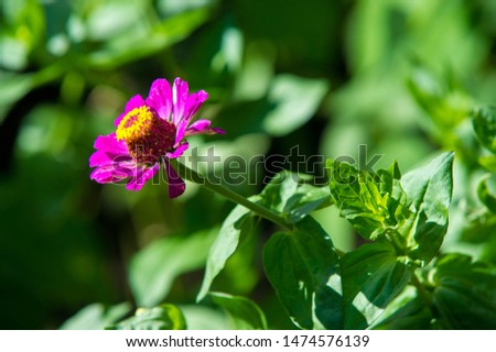 Zinnias are annual plants, shrubs and sub-shrubs growing mainly in North America, Zinnias can be white, greenish yellow, yellow, orange, red, purple or lilac. #1474576139