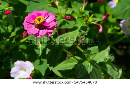 Zinnias are annual plants, shrubs and sub-shrubs growing mainly in North America, Zinnias can be white, greenish yellow, yellow, orange, red, purple or lilac. #1495454078