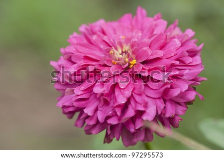 Zinnias seem especially favored by butterflies, and many gardeners add zinnias specifically to attract them.