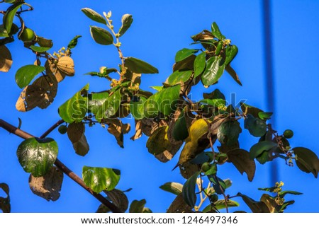 Ziziphus mauritiana (Bidara) is a shrub, evergreen shrub or small tree up to 15 m tall, with a diameter of 40 cm or more stems. In Islam it is practiced to drive jinn and demons. #1246497346