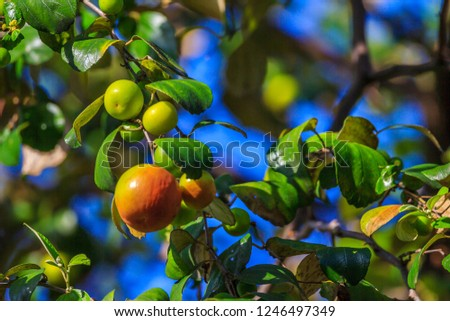 Ziziphus mauritiana (Bidara) is a shrub, evergreen shrub or small tree up to 15 m tall, with a diameter of 40 cm or more stems. In Islam it is practiced to drive jinn and demons. #1246497349