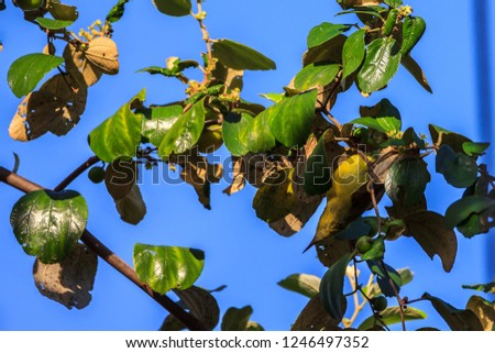 Ziziphus mauritiana (Bidara) is a shrub, evergreen shrub or small tree up to 15 m tall, with a diameter of 40 cm or more stems. In Islam it is practiced to drive jinn and demons. #1246497352