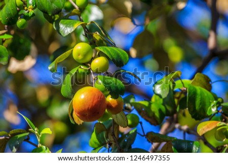 Ziziphus mauritiana (Bidara) is a shrub, evergreen shrub or small tree up to 15 m tall, with a diameter of 40 cm or more stems. In Islam it is practiced to drive jinn and demons. #1246497355