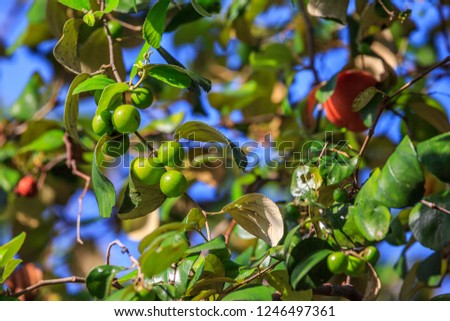 Ziziphus mauritiana (Bidara) is a shrub, evergreen shrub or small tree up to 15 m tall, with a diameter of 40 cm or more stems. In Islam it is practiced to drive jinn and demons. #1246497361