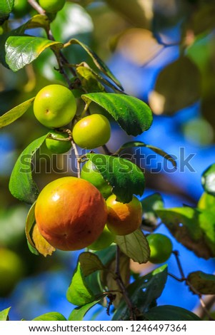 Ziziphus mauritiana (Bidara) is a shrub, evergreen shrub or small tree up to 15 m tall, with a diameter of 40 cm or more stems. In Islam it is practiced to drive jinn and demons. #1246497364