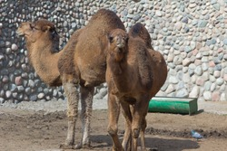 zoo animals, camel, Almaty, Kazakhstan. Couple of camels.