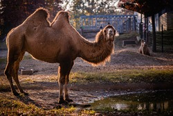 Zoo camel standing in sunset, at drinking place